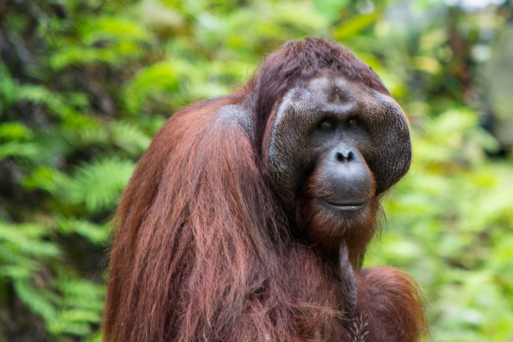 Wild orangutan in the Bornean jungle