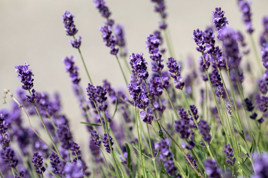 Blooming lavender in Provence