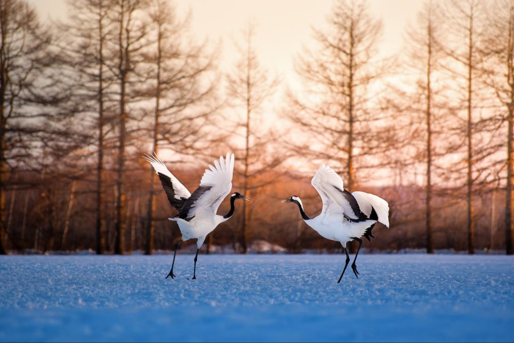 Hokkaido's iconic red-crowned cranes.