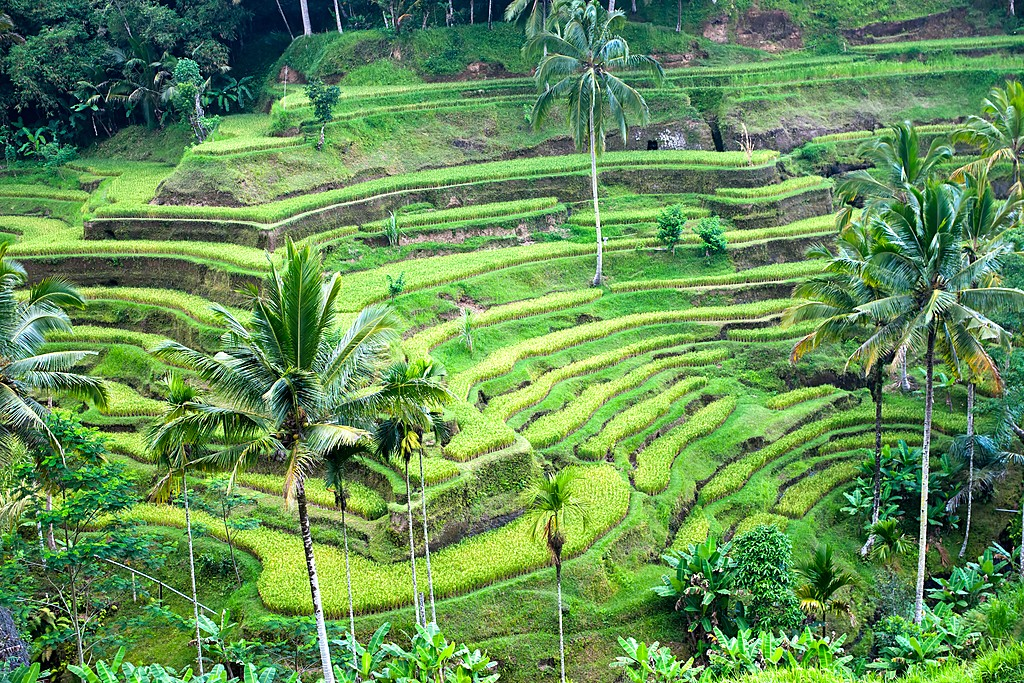 Rice terraces in Bali