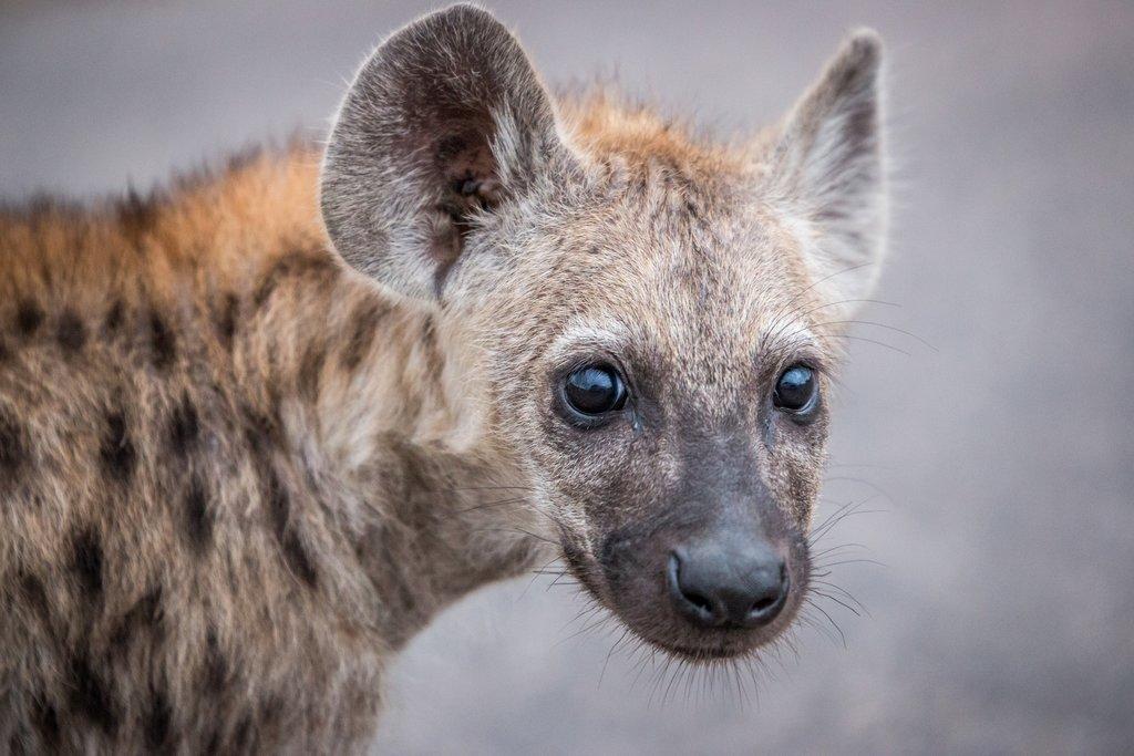 Hyena hello