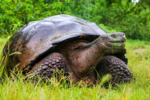 Viewing giant tortoises in their native habitat is a highlight of the Galapagos.