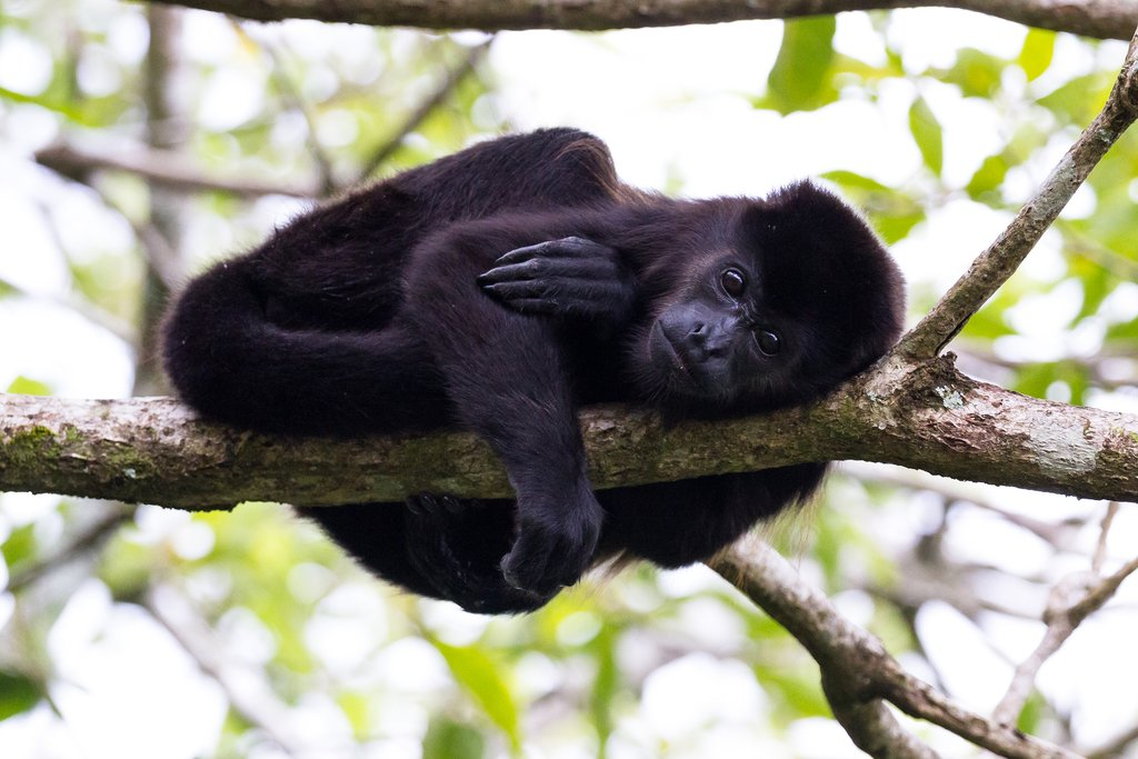 Spot howler monkeys among other wildlife