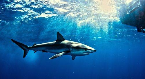 Shark in the Galapagos