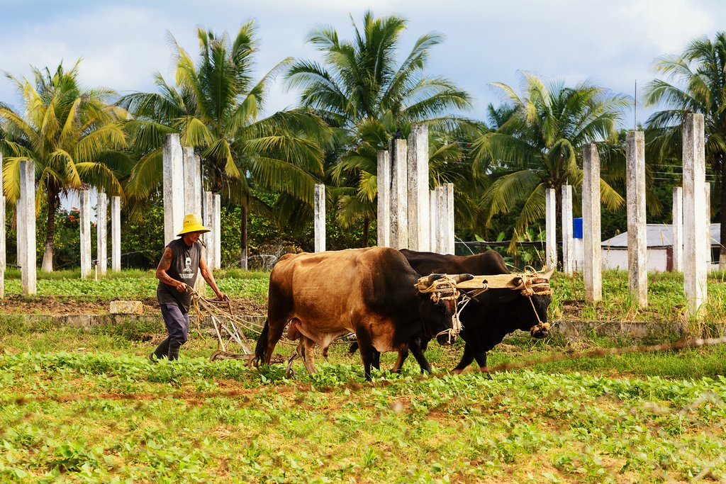 Farmer and ox plowing field in Vinales