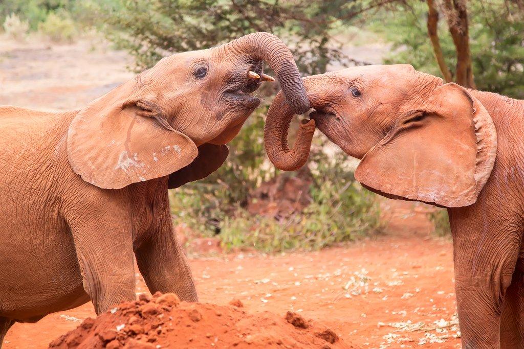 Two small baby elephants playing at elephant orphanage in Nairobi, Kenya, Africa.