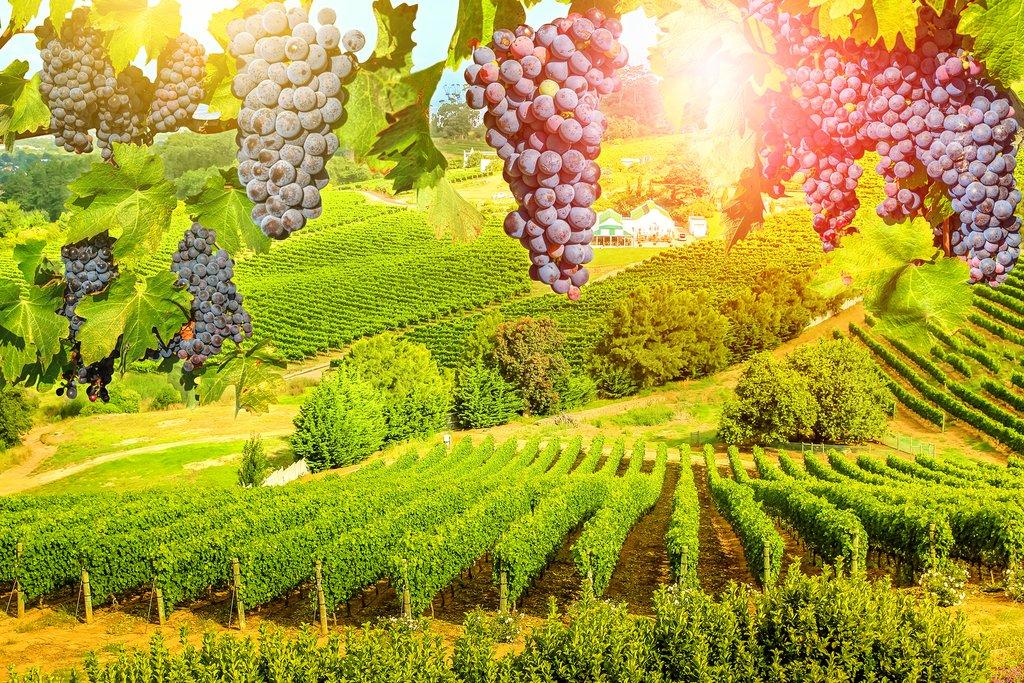 Caape wineland landscape at sunset