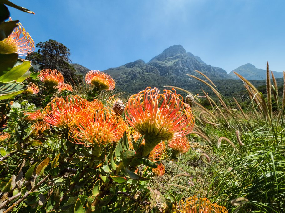 Red protea in Kirstenbosch Garden
