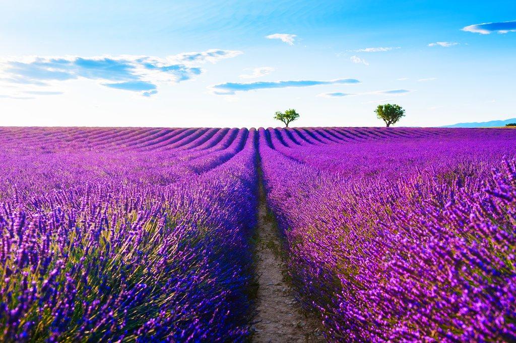 Lavender fields in Avignon