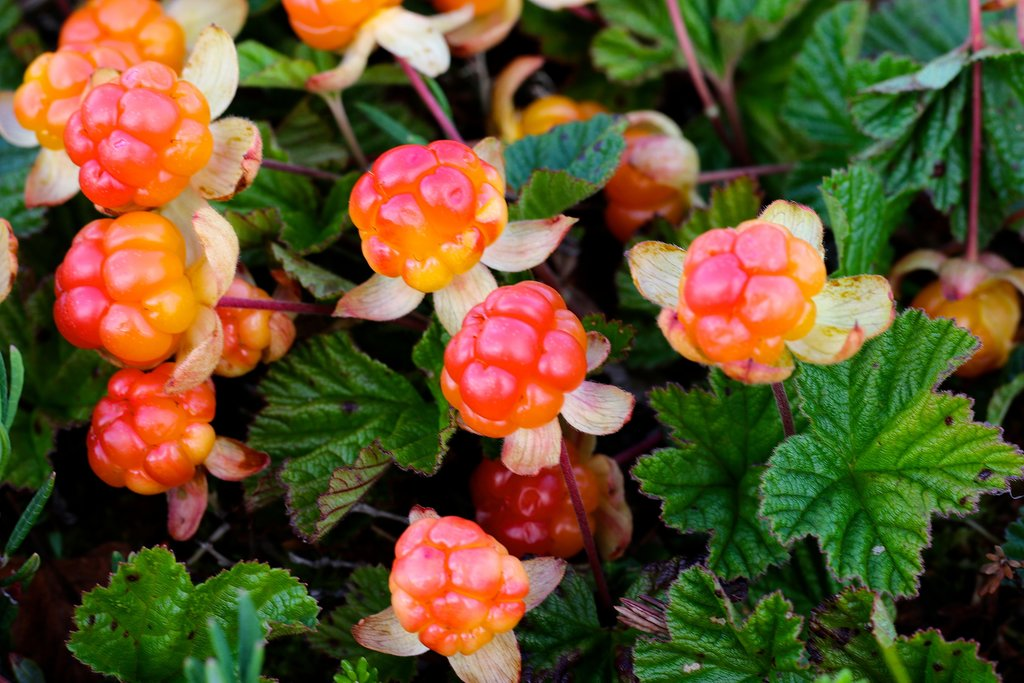 Close-up of cloudberries in the swamps of Ranua