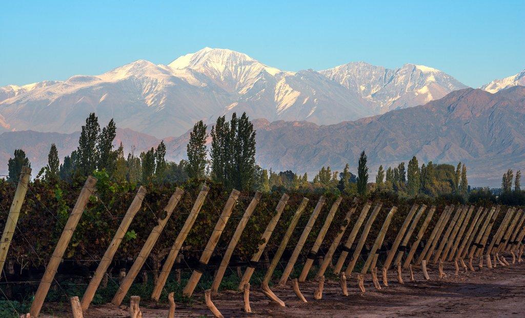 Vineyard in Mendoza with the peak of Aconcagua rising behind
