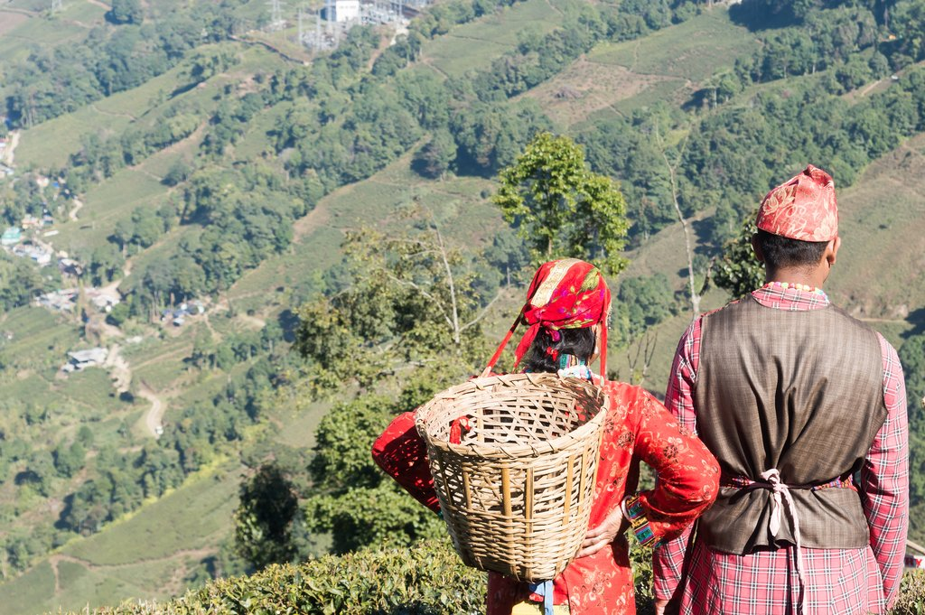 Indian tea pickers in Darjeeling