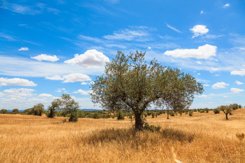 Olive Trees Plantation Landscape in Alentejo, Portugal