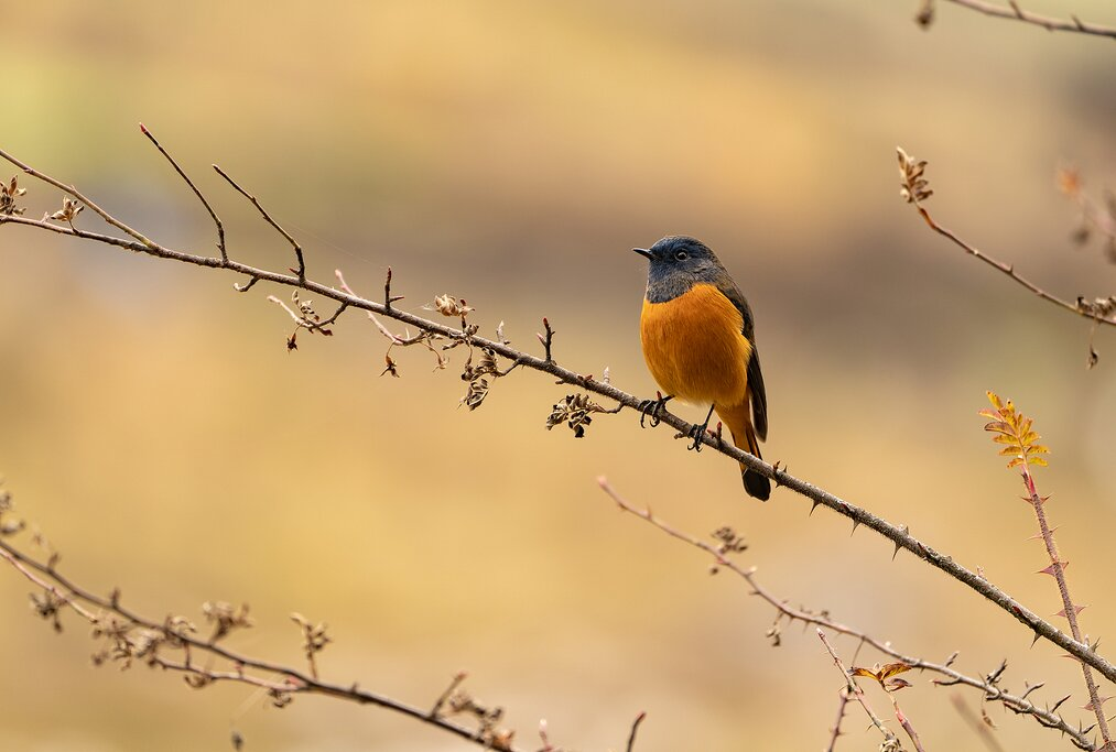 A blue-fronted redstart perches on a tree branch, Bhutan