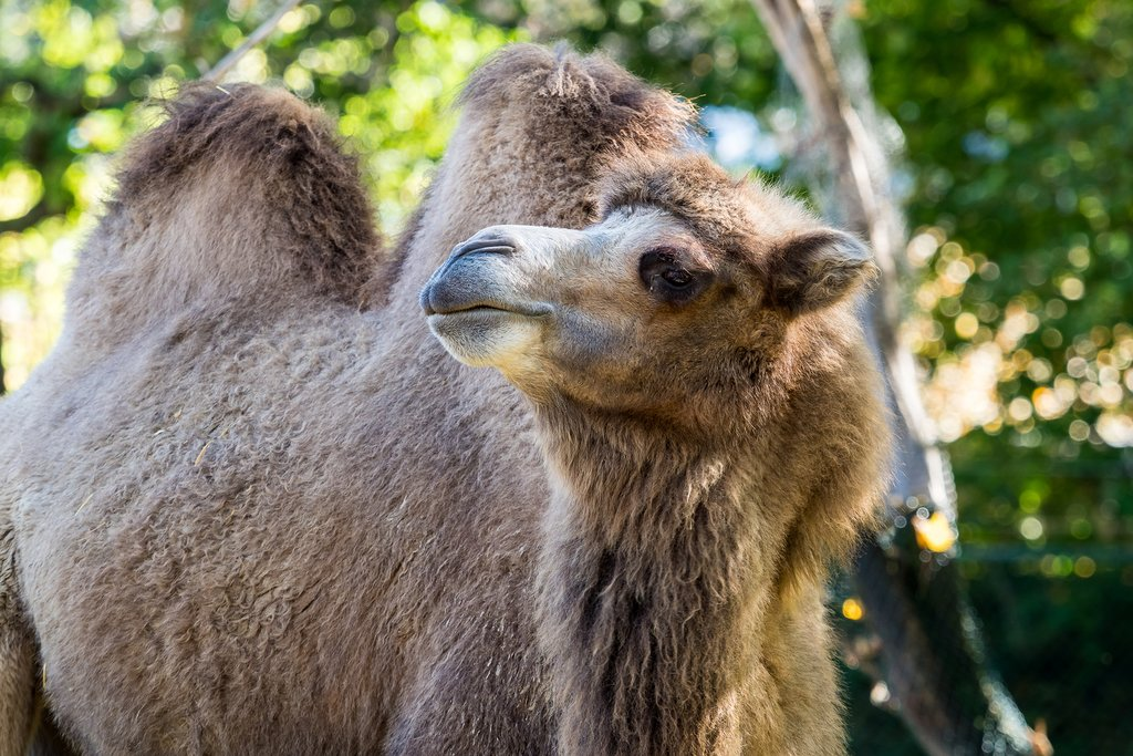 Keep your eyes out for the Bactrian camel