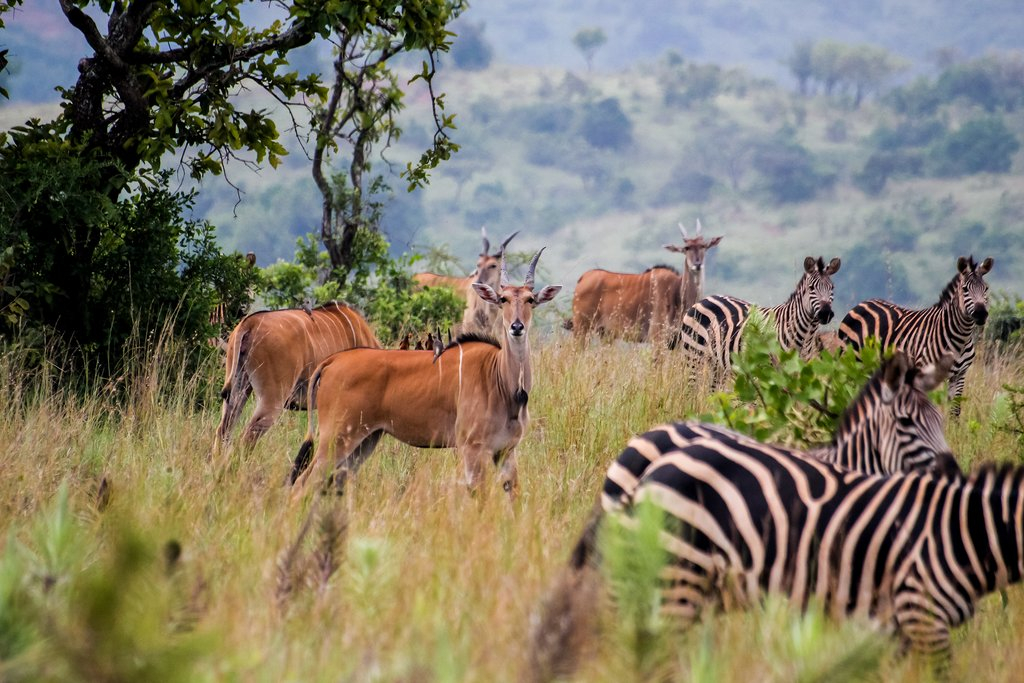 Antelope and zebras in Akagera National Park