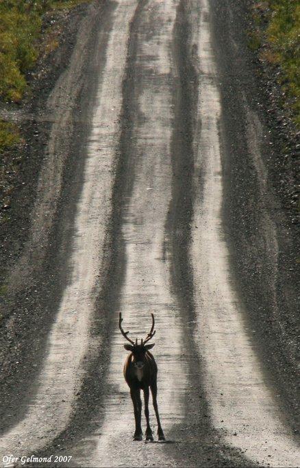 Caribou, Denali Hwy, Alaska