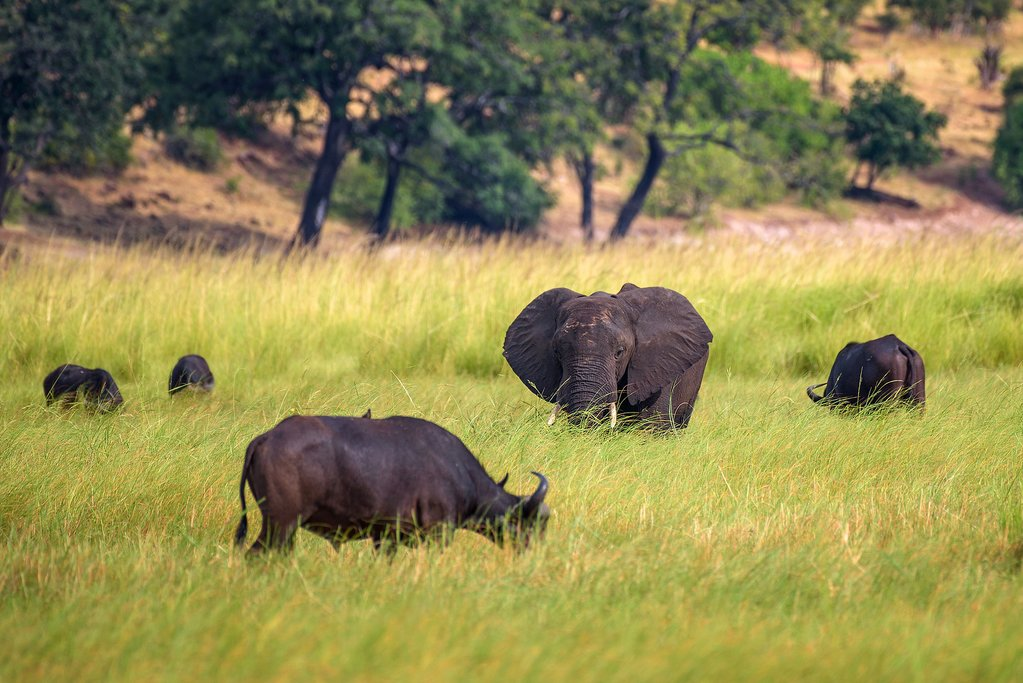 Elephants Grazing on the Savannah