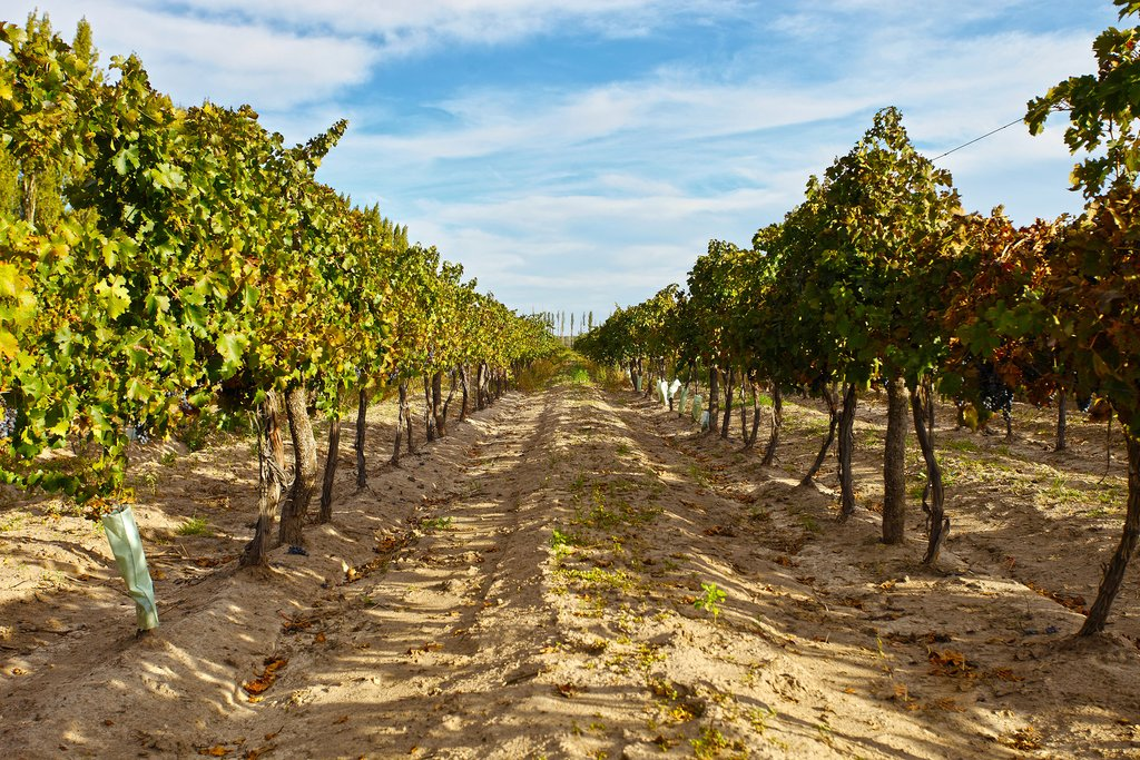 Vineyards in Mendoza