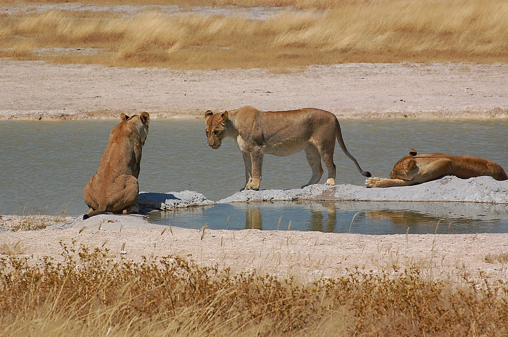 Lionesses at a watering hole in Etosha National Park