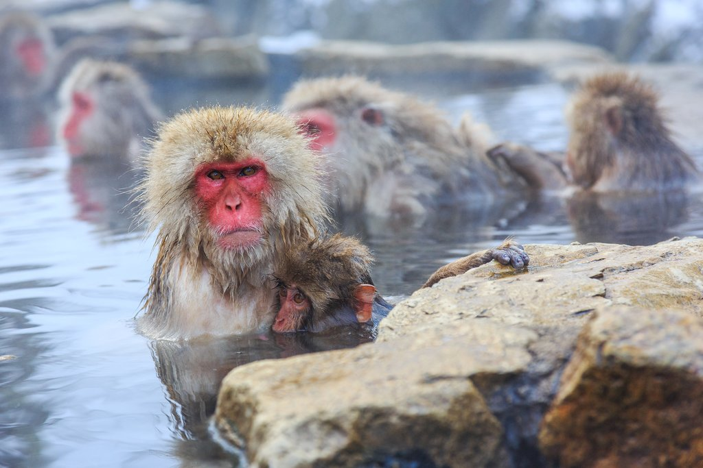 Snow monkeys soaking the hot springs around Yudanaka.