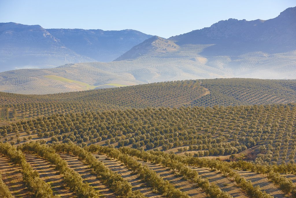 Olive Groves in Andalusia