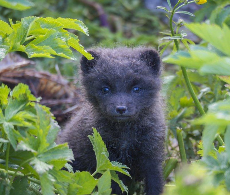 An Arctic Fox cub near Isafjordur