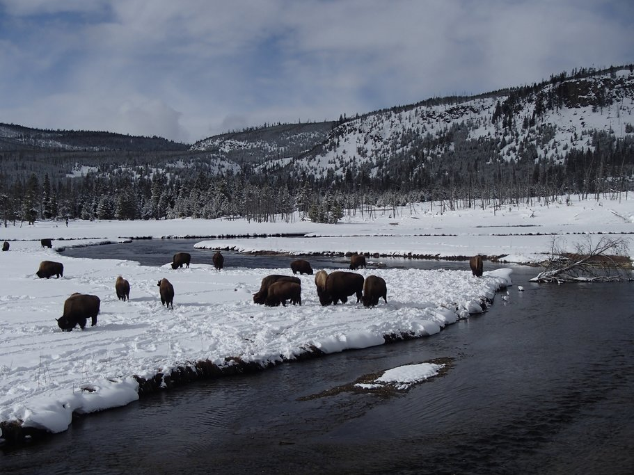Bison move snow with their heads to get to the grass underneath