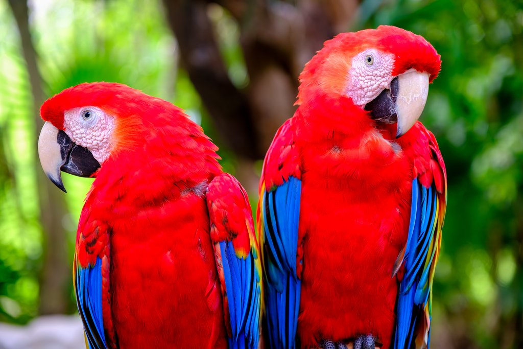 Scarlet macaws are common in Tárcoles
