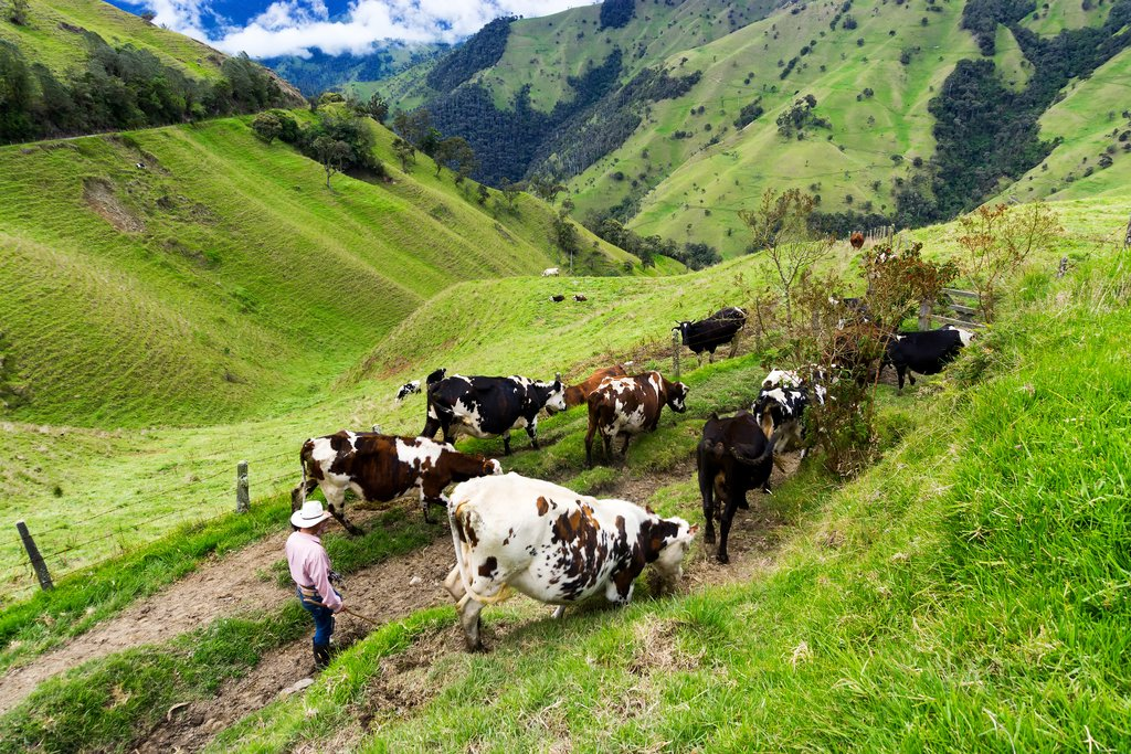 A farmer with his cows in the Quindío Department, Colombia