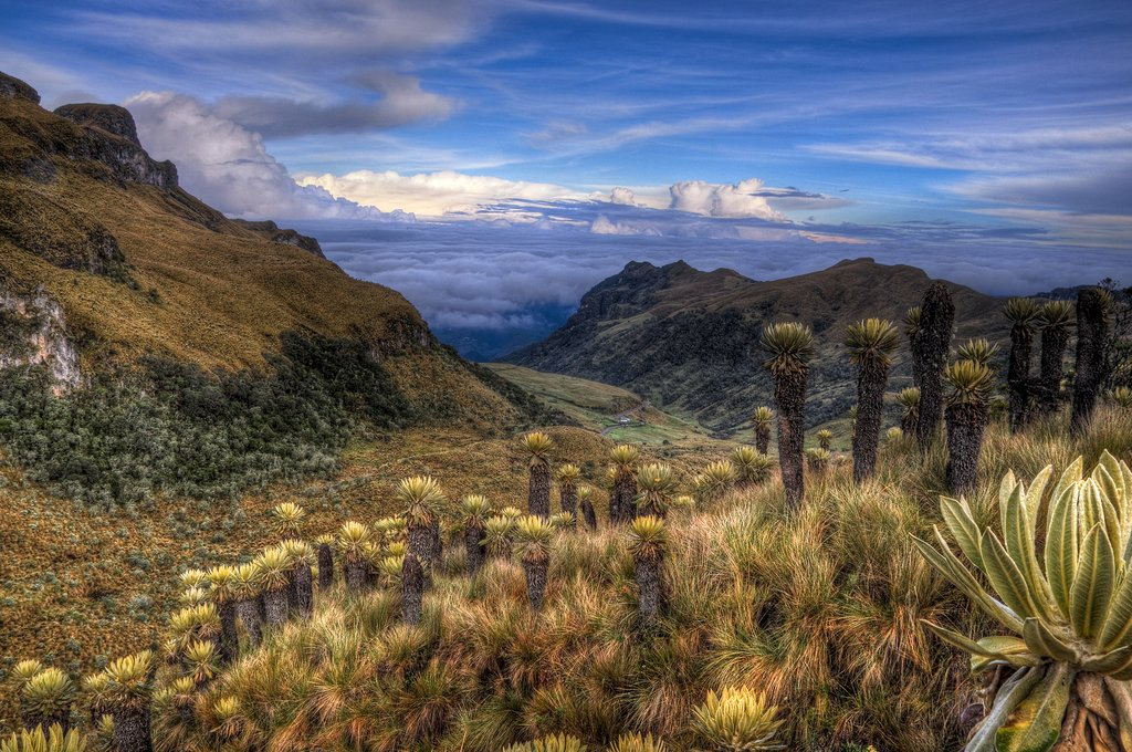 Páramo landscape dotted with espeletia plants near Nevado del Ruis, Colombia