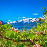 Spring blossoms overlooking the Hardangerfjord