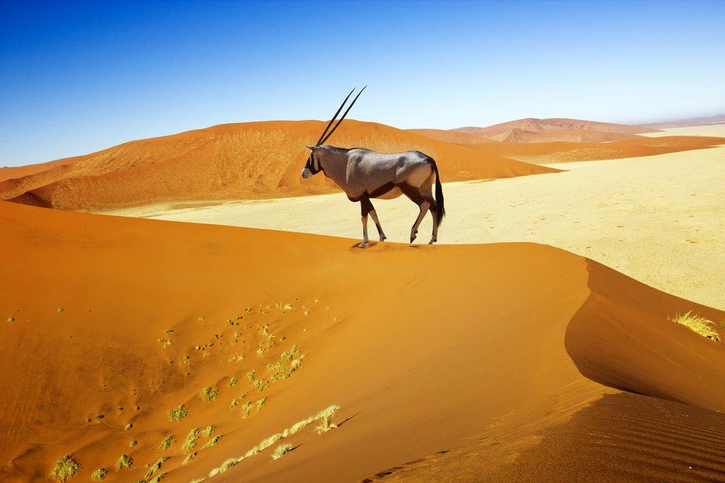 Oryx walking on the Sossuvlei dunes