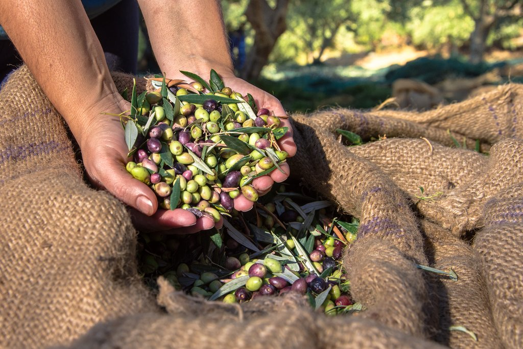 Harvesting fresh olives