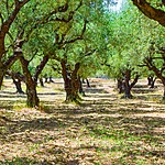 Stroll through the olive groves