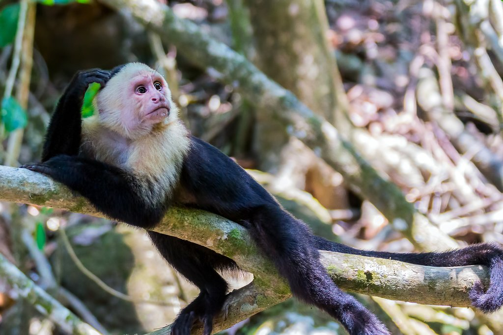 Capuchin monkeys are just one of the animals you can see on a rainforest hike