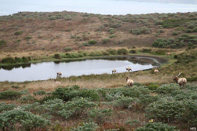 Tule Elks at Stock Pond
