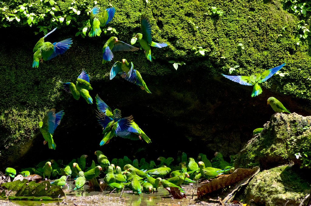 Parakeets in clay licking cave in Yasuni National Park