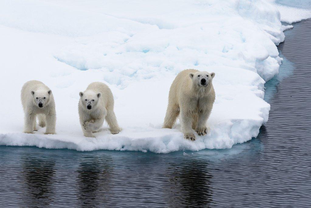 Polar Bears in Svalbard, Norway