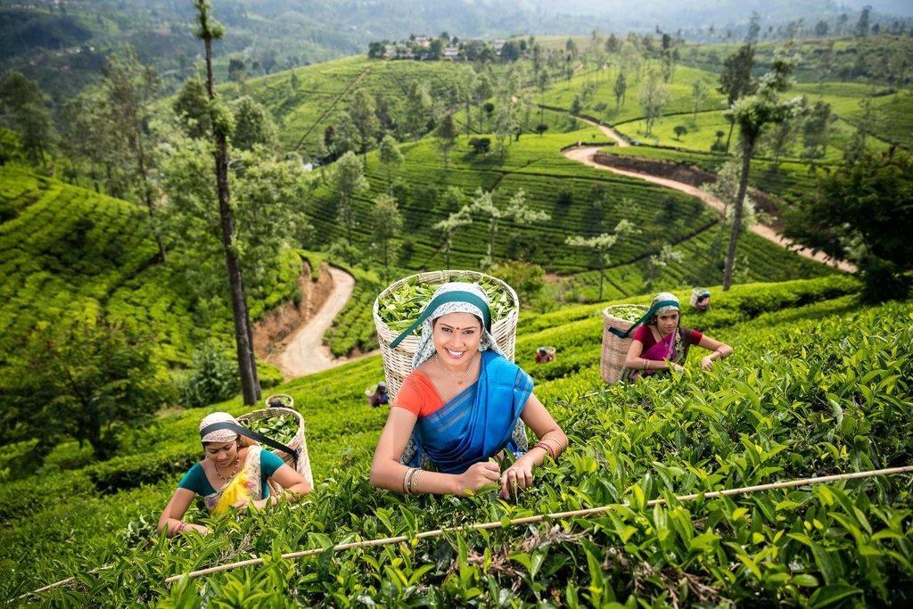 Tea Plucking Women