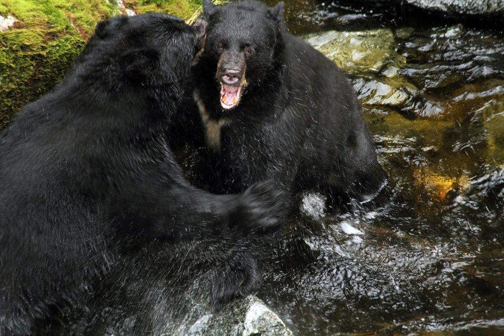 Black bears, Anan Creek, Alaska