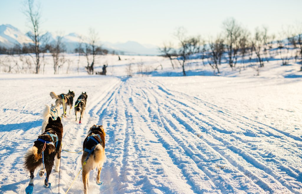 Meet your team of huskies and explore Alta by dog sled