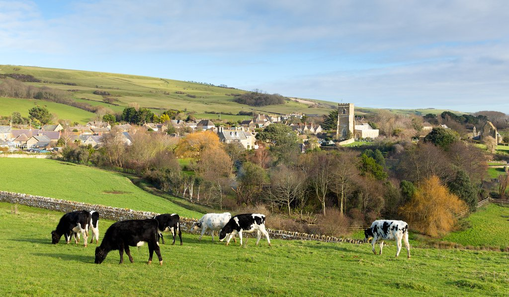 Cows graze above the village of Abbotsbury.