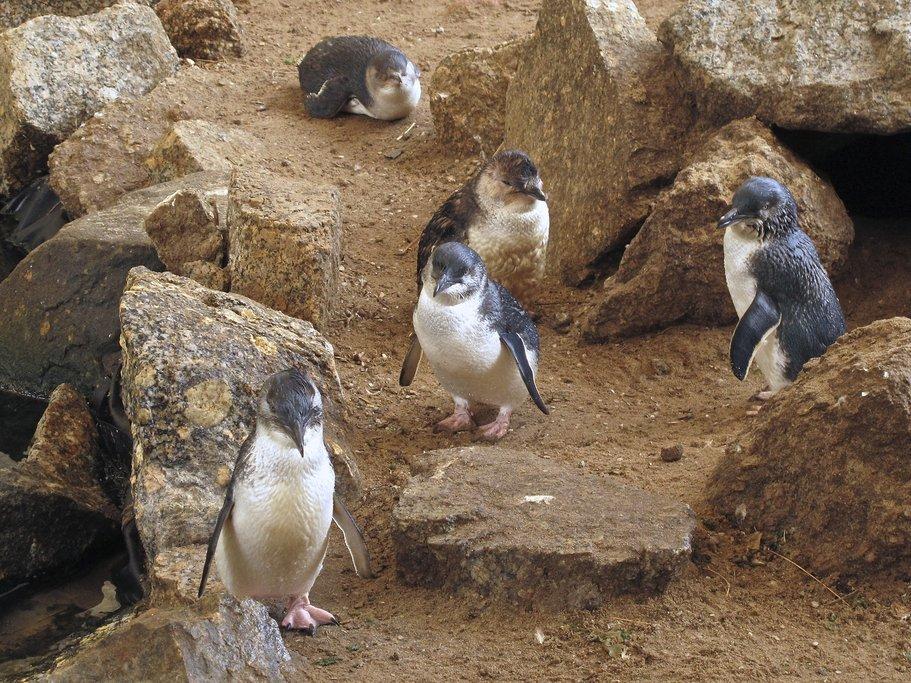 Little blue penguins at Royal Albatross Centre
