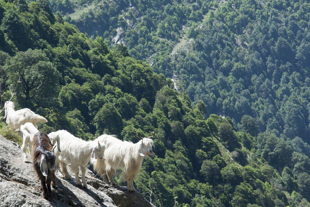 Mountain Goats near Triund