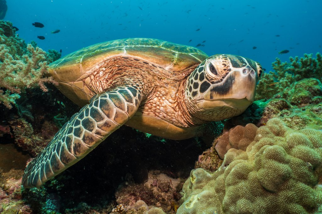 Green turtle in Balicasag Island