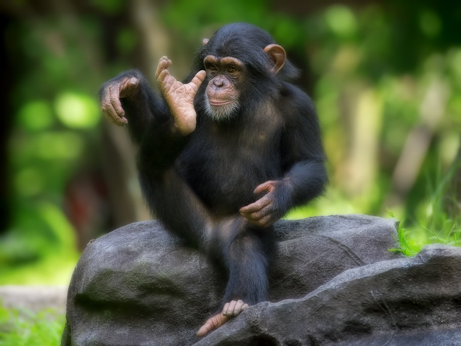 A young chimp in Nyungwe National Forest