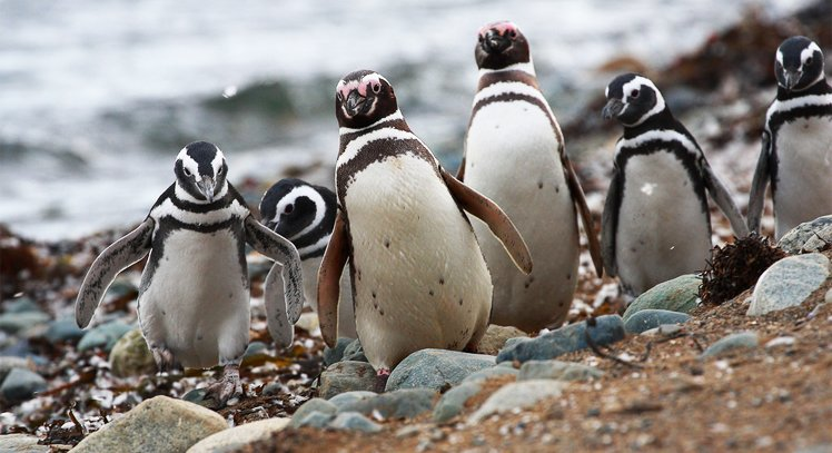 Visit a penguin colony on Magdalena Island