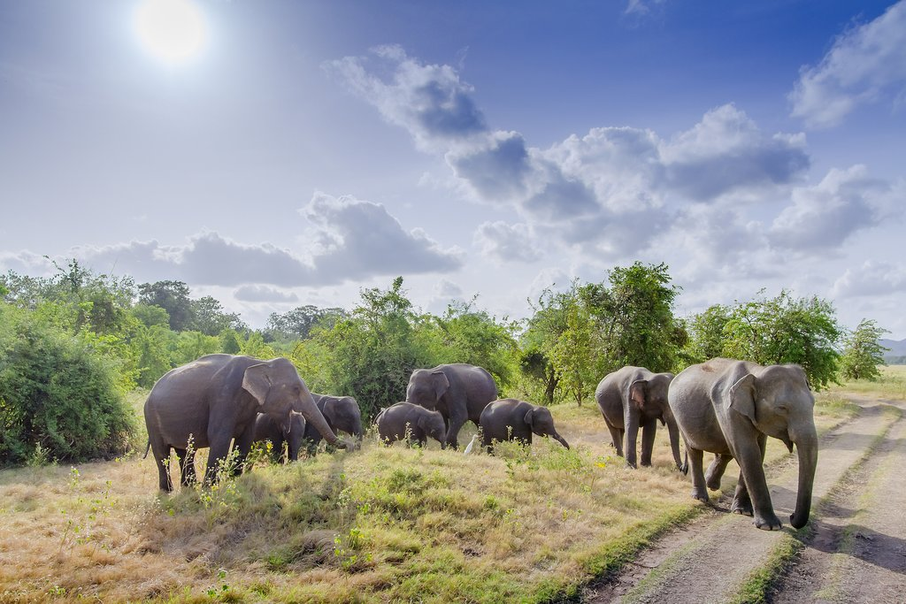 Wild Asian elephant herds in Minneriya National Park.
