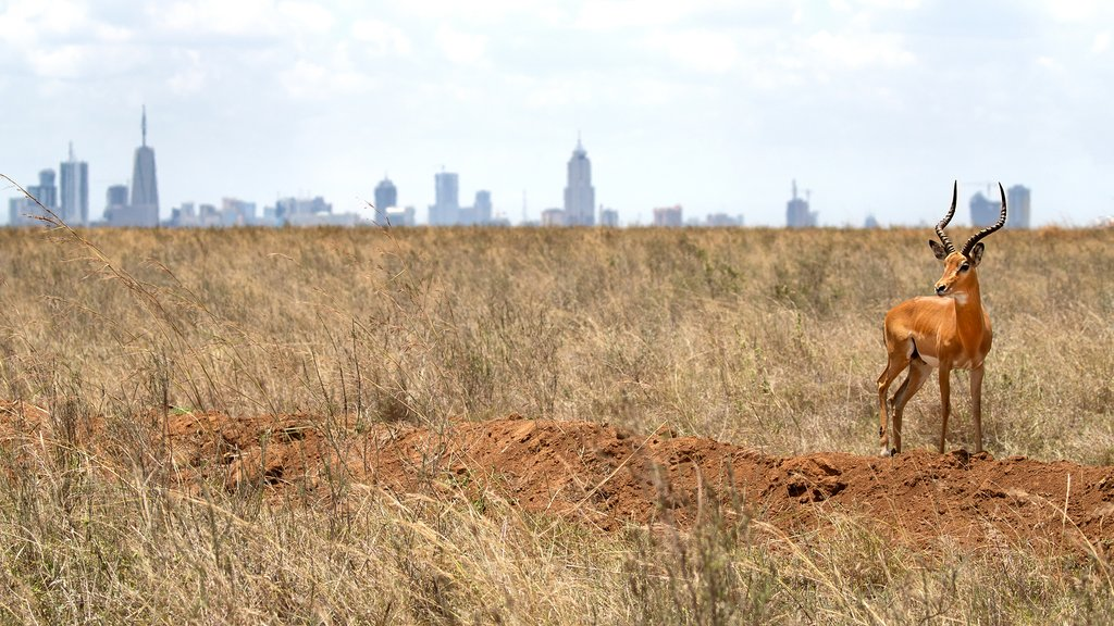 An impala on the outskirts of Nairobi